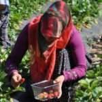 İslahiye'de özel izinle çilek hasadına başlandı