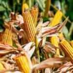 Küresel gıda fiyatları yükseliyor