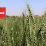 Yerli buğdaylar rekolteyi yüzde 20 artıracak