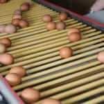 Tavuk yumurtası üretimi yükseldi