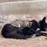 Kedi ile köpeğin gıpta edilen dostluğu