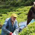 Rize'de iş başa düştü! İşçi olmayınca üreticiler ailece hasada başladı