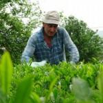 Rize'de yaş çay sezonu açıldı: Üreticiler makas salladı