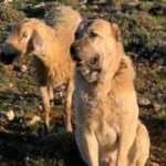 Sadakati ile şaşkına çevirdi, koyunun başında iki gün bekledi