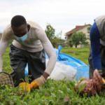 Afrikalı işçiler bu yıl da çay hasadında