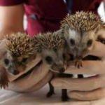 3 yavru kirpi koruma altına alındı
