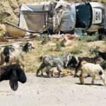 Siirt'te trafik kazası, onlarca koyun telef oldu! Yaralılar var