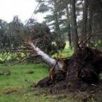 Bolu'da fırtına çam ağaçlarını devirdi