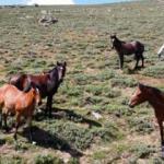 Yılkı atları, 2 bin 300 rakımlı yaylada dronla görüntülendi