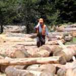 Bolu'da yaşlı ağaçlar kesilerek ekonomiye kazandırılıyor
