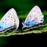 Sarıkamış'ın rengarenk kelebekleri
