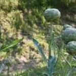 Ordu'da tarımsal ürün çeşitliliği artıyor