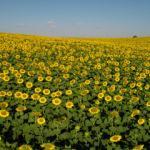 Çukurova'nın doğal fotoğraf stüdyosu: Ayçiçeği tarlaları