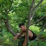 Firari hükümlü, kiraz ağacına çıkarken yakalandı