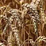 Buğday, mısır ve soya fiyatlarında düşüş