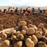 Türkiye'nin patates tohum ihtiyacı yerli tohumla karşılanıyor