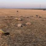 Aksaray'da merada otlayan 164 koyun telef oldu
