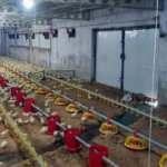 Çiftliği su bastı! 70 bin civcivin büyük kısmı son anda kurtuldu