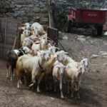 Bu keçi diğerlerinden çok farklı