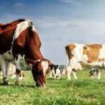Toplanan inek sütü miktarı yıllık bazda arttı