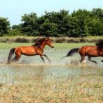 Yılkı atları Kızılırmak Deltası'na ayrı bir güzellik katıyor