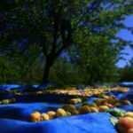 Malatya'da 15 bin mevsimlik işçi ile kayısı hasadı