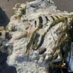 Samsun'da sahile vurdu! Görenler gözlerine inanamadı