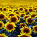 Doğal fotoğraf stüdyosu: Ayçiçeği tarlaları