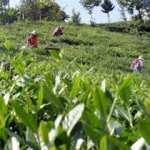 ÇAYKUR, haziran ayı yaş çay bedeli ödemelerine başladı