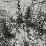 Kahramanmaraş'ta 34 kök kenevir bitkisi ele geçirildi