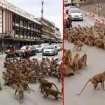 Tayland'da maymun çeteleri şehir merkezini ele geçirdi!