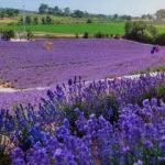 'Mora boyanan' tarlanın büyüleyici manzarası