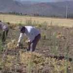 Türkiye'nin nohut deposu Kırşehir'de hasat zamanı
