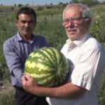 Amasya'da bu tarlada yetişen her şey ücretsiz!