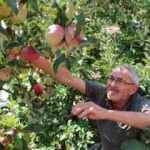 Amasya'da vatandaş bir ağaçta 6 çeşit elma yetiştirdi!