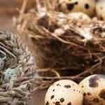 Bıldırcın yumurtasının çocuklara faydaları nelerdir? Bıldırcın yumurtası nasıl yenir?