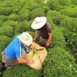 ÇAYKUR'dan yaş çay alım açıklaması