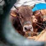 Canlı hayvan ithalatında yürürlük tarihi uzatıldı