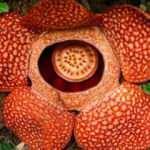 Endonezya'da ceset çiçeği olarak da bilinen 'Rafflesia arnoldii' açtı