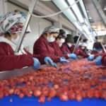 Malatya'da üretiliyor, dünyada ağızları tatlandırıyor