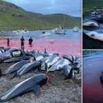 Sözde Grindadrap festivalinde, tarihin en büyük balina ve yunus katliamı yapıldı