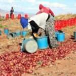Soğan hasadı başladı! Tarlada 80 kuruş! Üreticiden şikayet