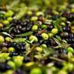 Ayvalık'ta sezonun ilk erken hasat zeytinleri sıkıldı