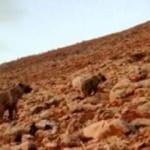 Koyunlara saldıran ayılara kangal köpekleri engel oldu