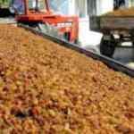 Üretici dertli: 64 ton kuru üzümü alıp kayıplara karıştılar