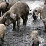 İngiltere'de işçi eksikliği nedeniyle 120 bin domuz itlaf edilebilir