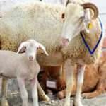Manavgat'taki yangından kurtarılan koyun, Bursa'da doğum yaptı