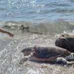 Alanya'da 4 caretta caretta ölüsü kıyıya vurdu