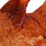 Araç içerisinde canlı tavuk satışına vatandaş tepki gösterdi