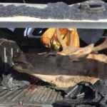 Kaza yapan avcıların bagajından kızıl geyik çıktı